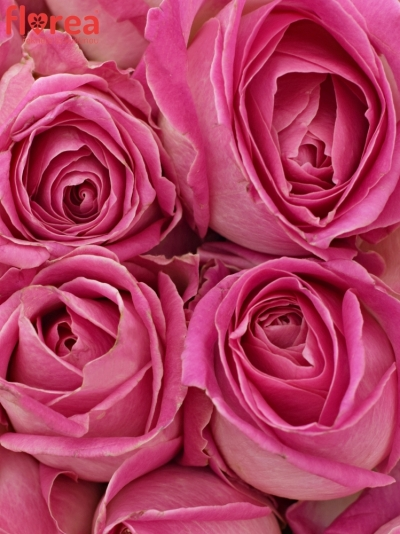 Kytice 21 růžových růží AVALANCHE CANDY+ 60cm