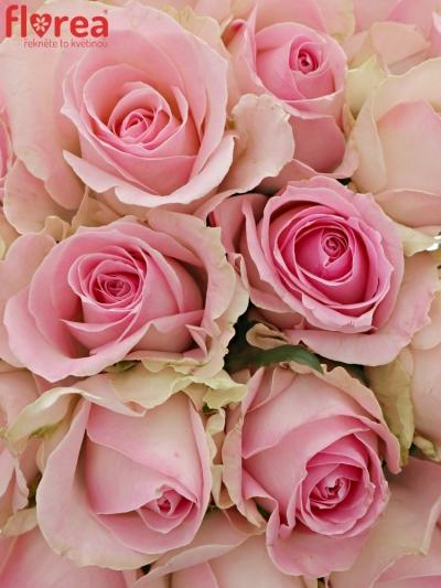 Kytice 21 růžových růží AVALANCHE SORBET 40cm