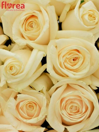 Kytice 21 smetanových růží VENDELA