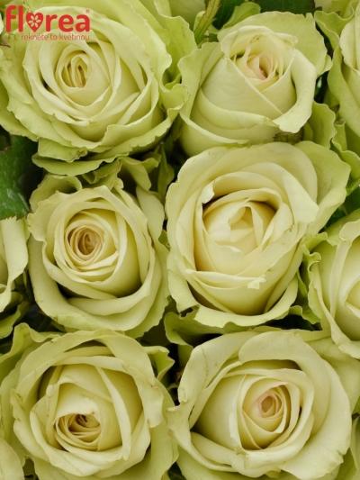 Kytice 21 zelených růží GREEN FASHION