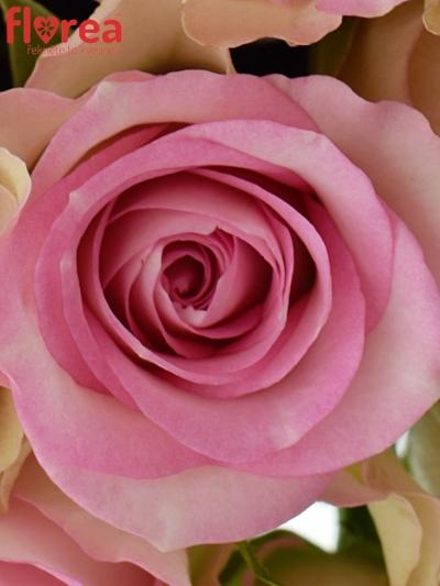 Kytice 21 žíhaných růží LOVELY JEWEL 40cm
