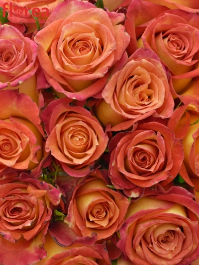 Kytice 21 žíhaných růží UTOPIA