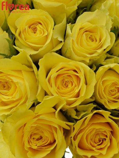 Kytice 21 žlutých růží GOLDEN TOWER 50 cm
