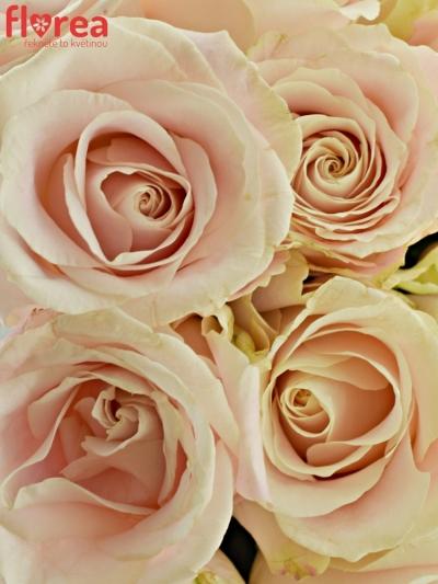 Kytice 25 bílých růží ADOR AVALANCHE+ 60cm