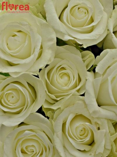 Kytice 25 bílých růží ASPEN 40cm