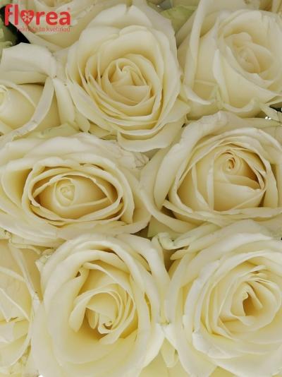 Kytice 25 bílých růží AVALANCHE  40cm