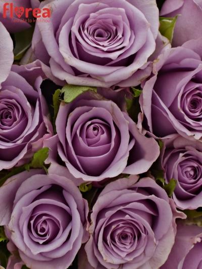 Kytice 25 fialových růží JAZZ 40cm
