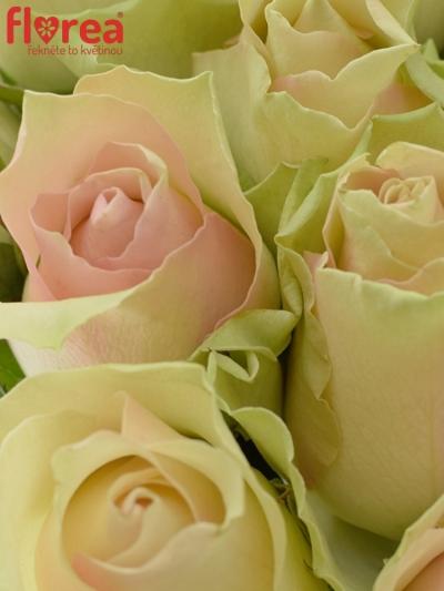 Kytice 25 krémovozelených růží LA BELLE 50cm
