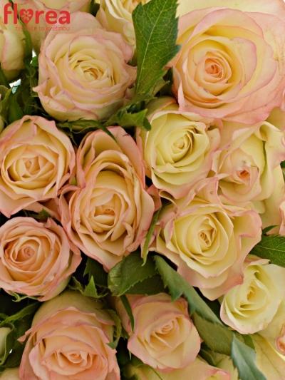 Kytice 25 krémových růží MARILYN 50cm