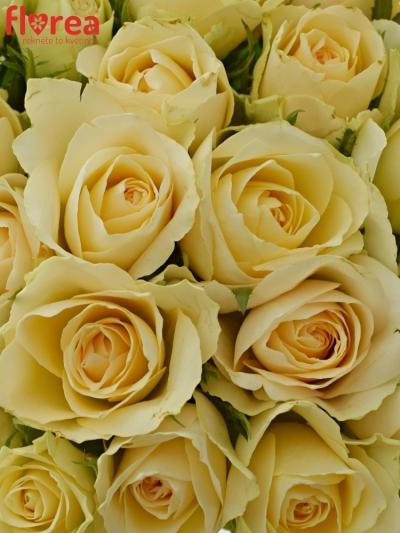 Kytice 25 meruňkových růží ANGELA 35cm