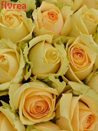 Kytice 25 meruňkových růží MAGIC AVALANCHE 40cm