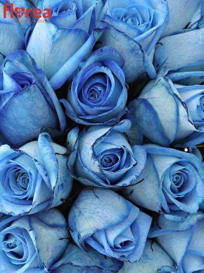 Kytice 25 modrých růží LIGHT BLUE SNOWSTORM