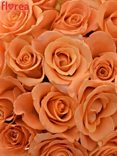 Kytice 25 oranžových růží TRIXX! 70cm