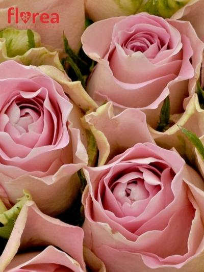 Kytice 25 růžových růží BISOU 40cm