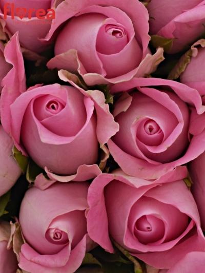 Kytice 25 růžových růží REVIVAL 60cm