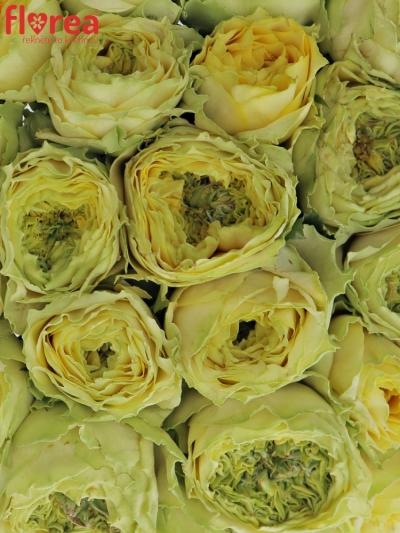 Kytice 25 zelených růží GRASSHOOPER