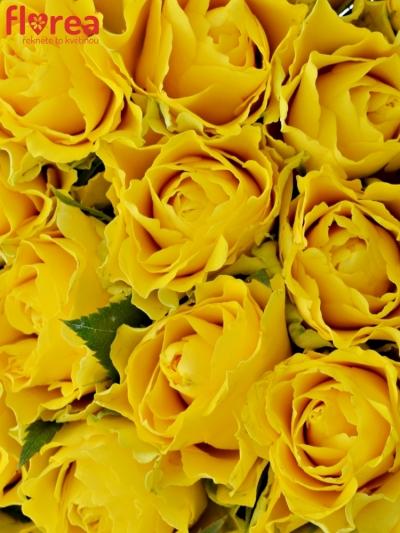 Kytice 25 žlutých růží VIVA