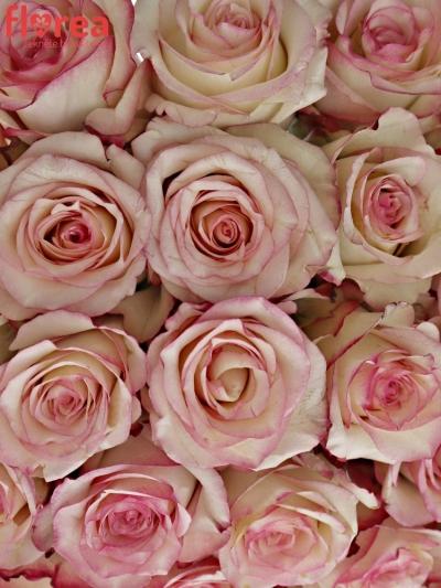 Kytice 35 bÍlorůžových růží TORMENTA