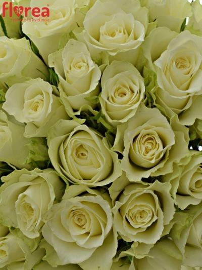 Kytice 35 bílých růží ATHENA