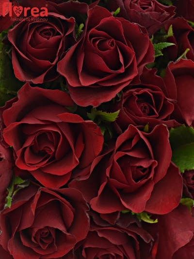 Kytice 35 červených růží RHYTHM 50cm