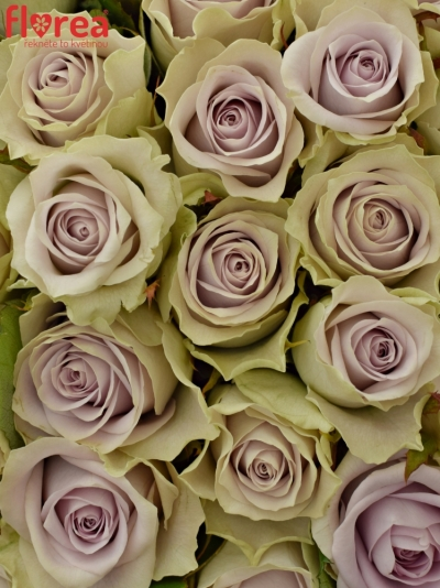 Kytice 35 fialových růží FIFTH AVENUE! 40cm