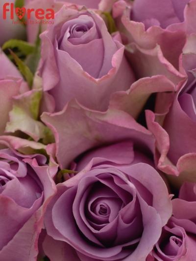 Kytice 35 ks růží ROSA NIGHTINGALE!