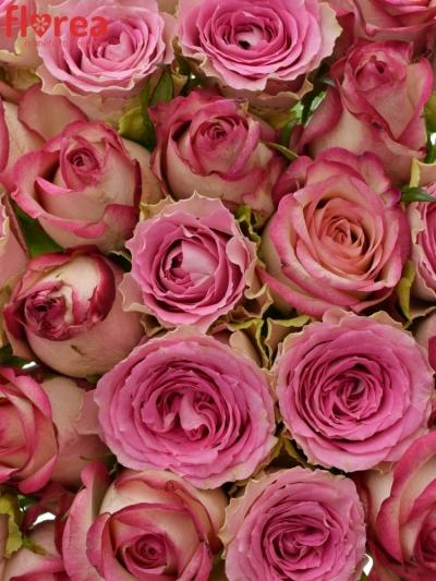 Kytice 35 míchaných růží TIMESTELLE