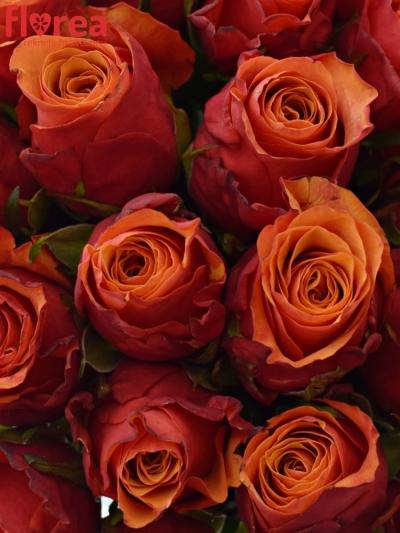 Kytice 35 oranžovočervených růží ESPANA 40cm