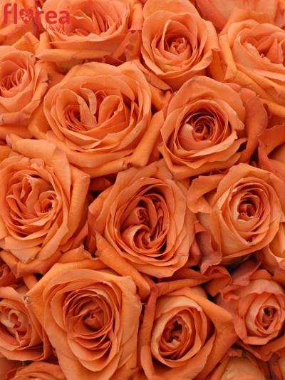 Kytice 35 oranžových růží COPACABANA 50cm
