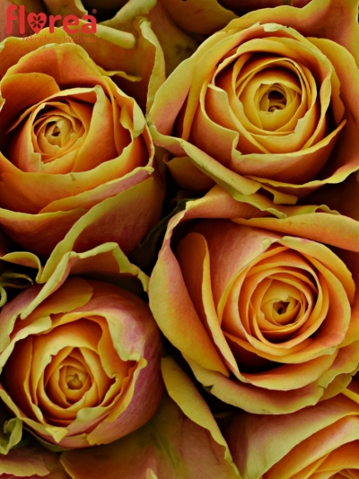 Kytice 35 oranžových růží MARACUJA 40cm