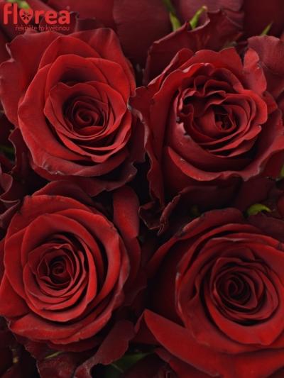 Kytice 35 rudých růží EXPLORER 60cm