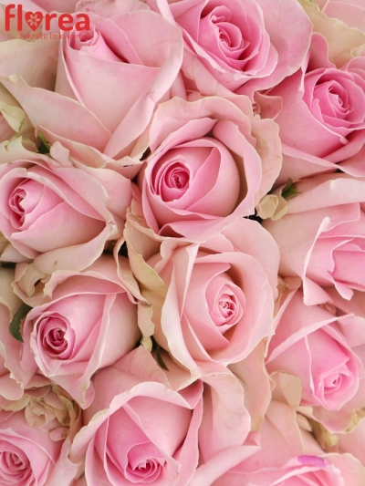 Kytice 35 růžových růží AVALANCHE SORBET+