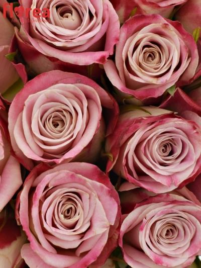 Kytice 35 růžových růží CLASSY ALISON