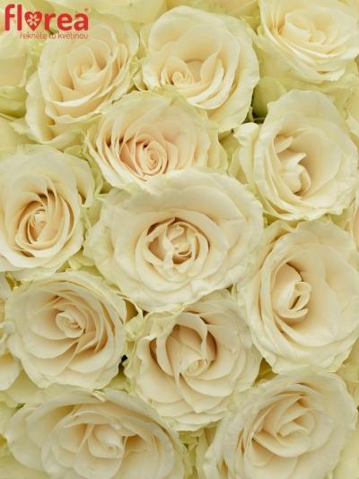 Kytice 35 světlekrémových růží SOLSY