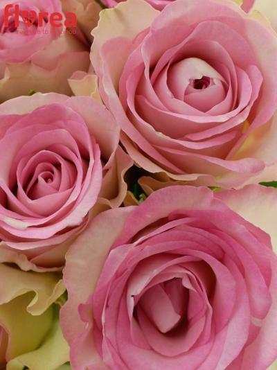 Kytice 35 žíhaných růží LOVELY JEWEL 40cm