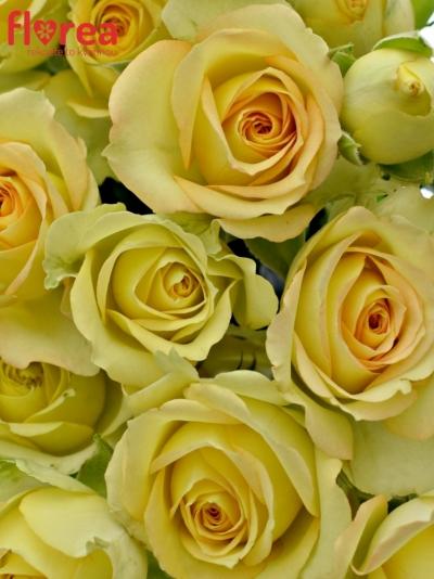 Kytice 5 trsových růží ESTEVANA 50cm
