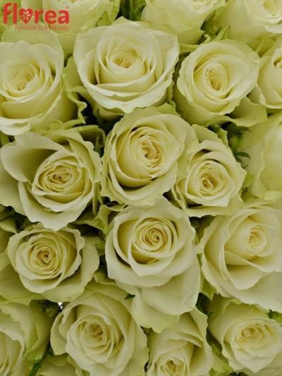 Kytice 55 bílých růží ATHENA