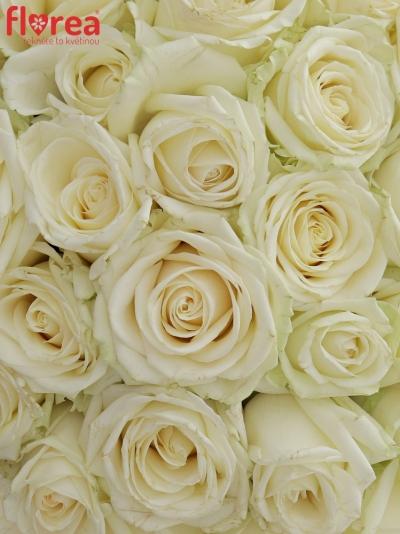 Kytice 55 bílých růží AVALANCHE  40cm