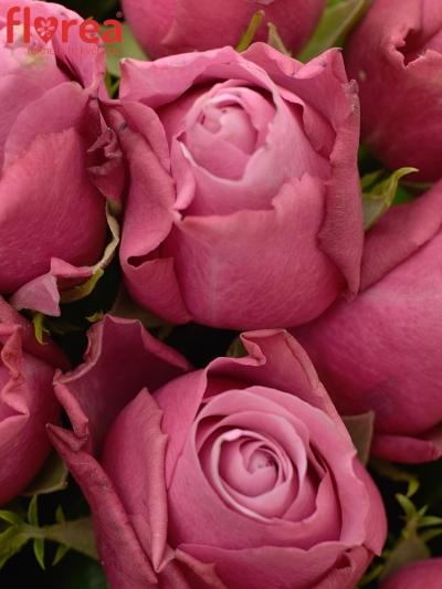 Kytice 55 fialových růží DEEP WATER 40cm