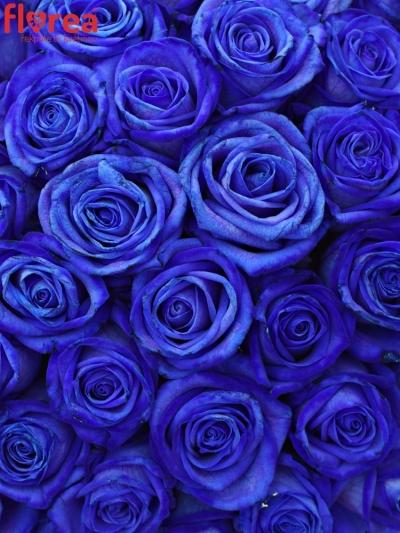 Kytice 55 modrých růží BLUE VENDELA