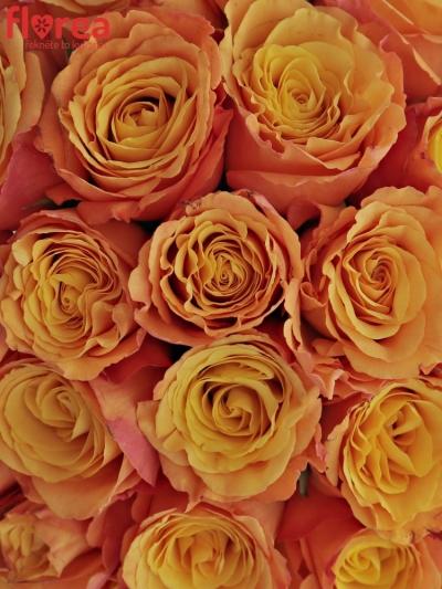 Kytice 55 oranžových růží CONFIDENTIAL 35cm