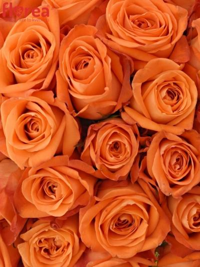 Kytice 55 oranžových růží COPACABANA 50cm
