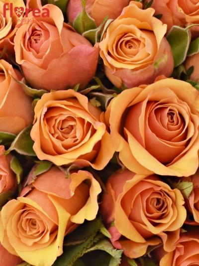 Kytice 55 oranžových růží JULIA 40cm