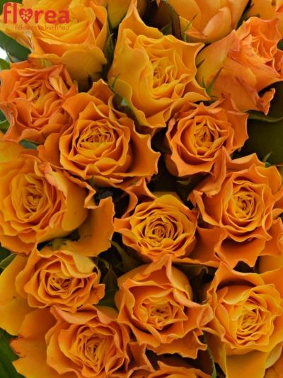Kytice 55 oranžových růží MARIE-CLAIRE! 60cm