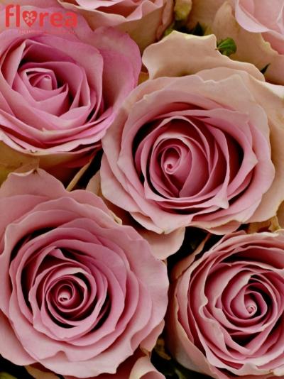 Kytice 55 růžových růží BISOU 40cm