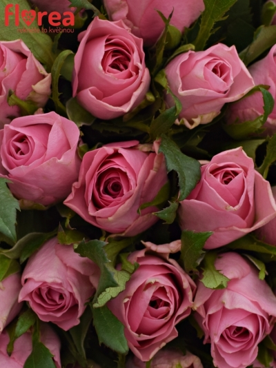 Kytice 55 růžových růží ELIZA 50cm