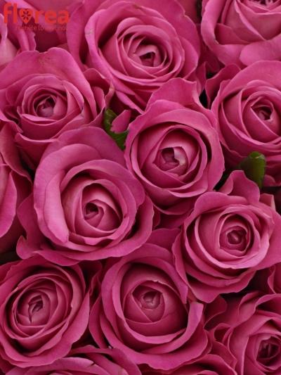 Kytice 55 růžových růží H3O 40cm
