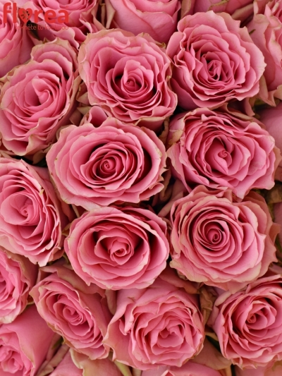 Kytice 55 růžových růží LOVELY RHODOS