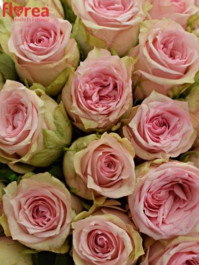 Kytice 55 růžových růží SUDOKU 50 cm