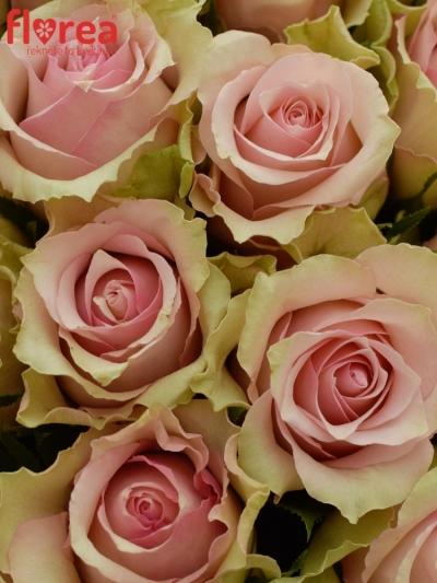 Kytice 55 smetanových růží DREAMLAND 60cm
